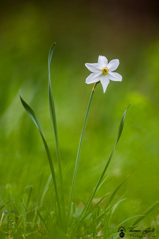 Narcisse des poètes, parc naturel régional de chartreuse - Thomas Capelli