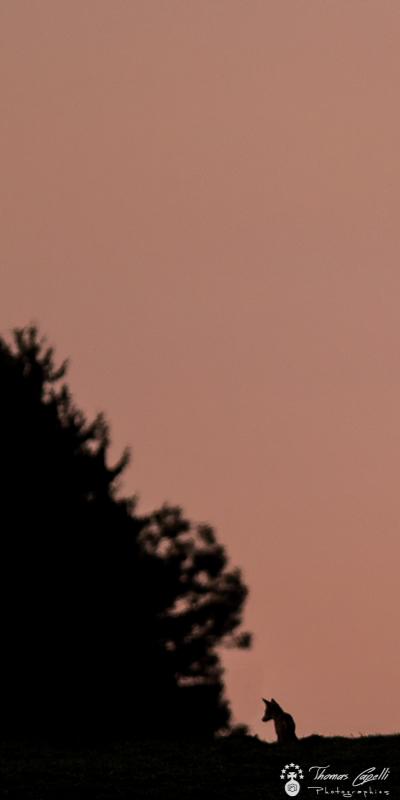 Silhouete de renard au coucher du soleil - Thomas Capelli