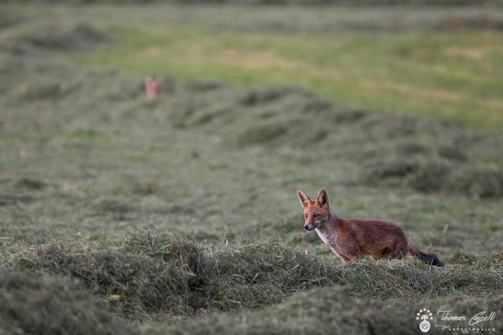renards chassent dans les foins - Thomas Capelli