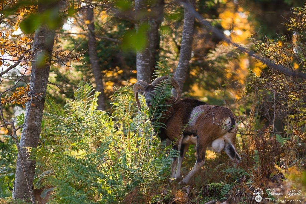 7-mouflon