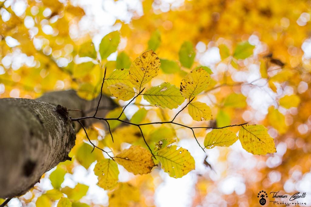hetre aux couleurs d'automne