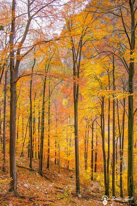 Hetraie en automne dans la vallée du guiers - Thomas Capelli