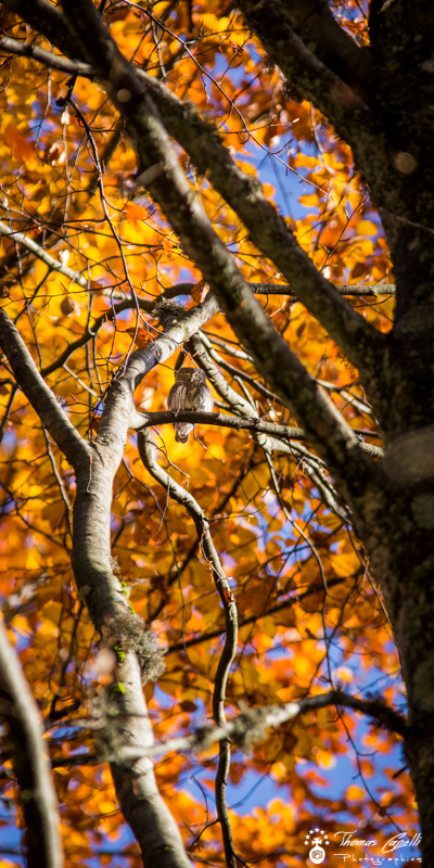Chouette dans la forêt domaniale de la grande chartreuse - Thomas Capelli