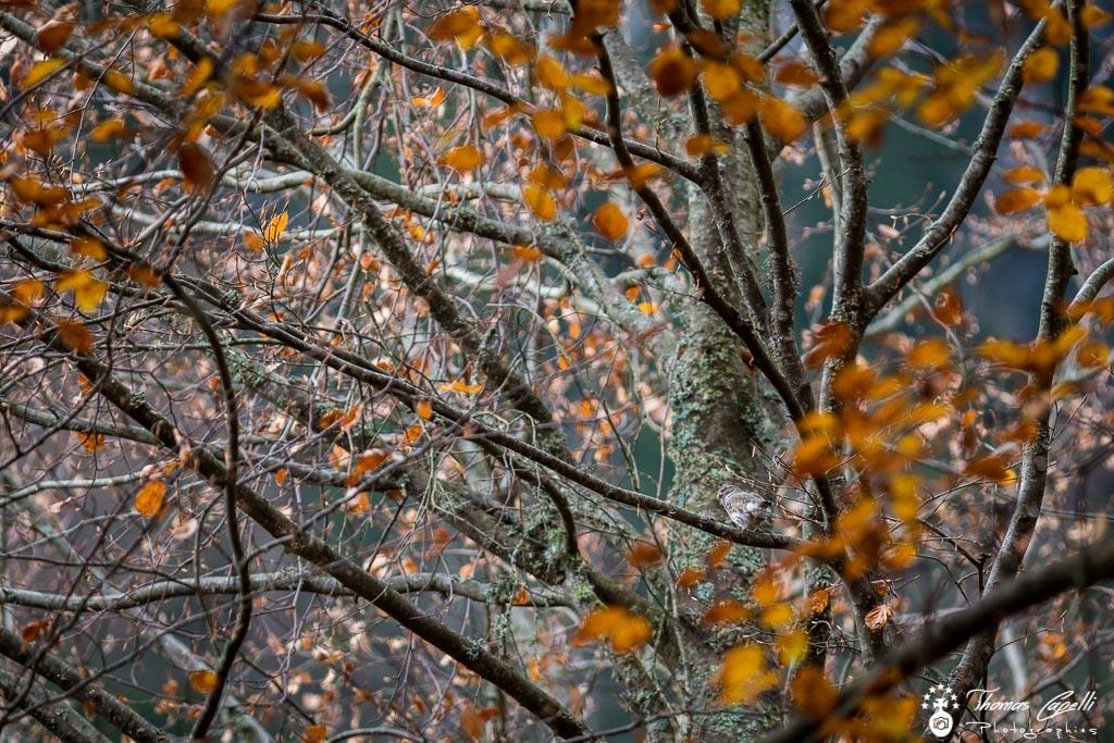 petite chouette en chartreuse - Thomas Capelli