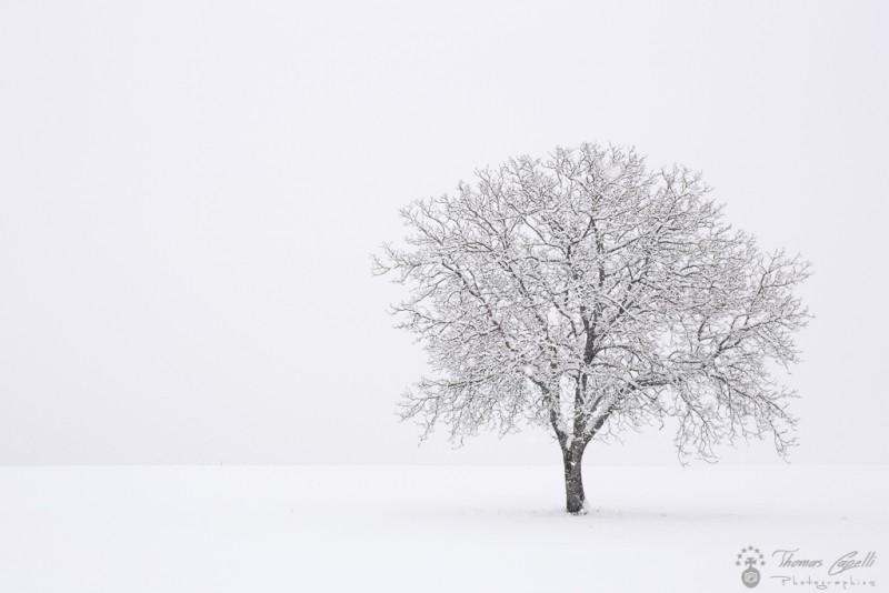 noyer sous la neige - Thomas Capelli