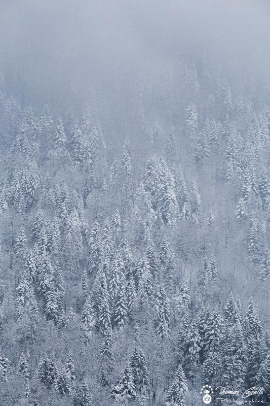 sapins neige - Thomas Capelli