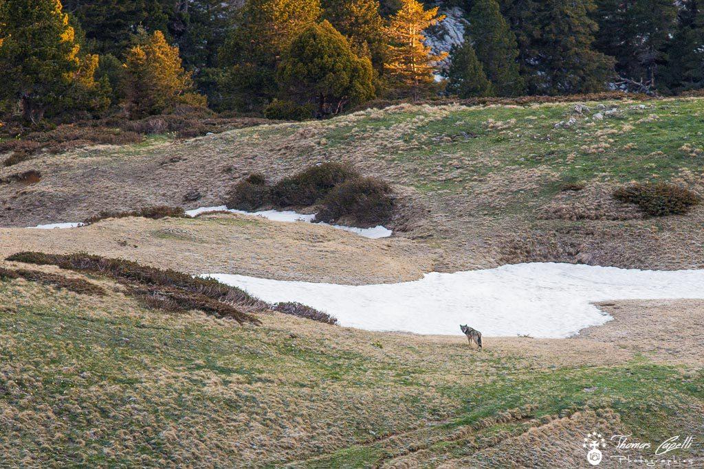Loup dans le parc naturel régional de chartreuse - Thomas Capelli
