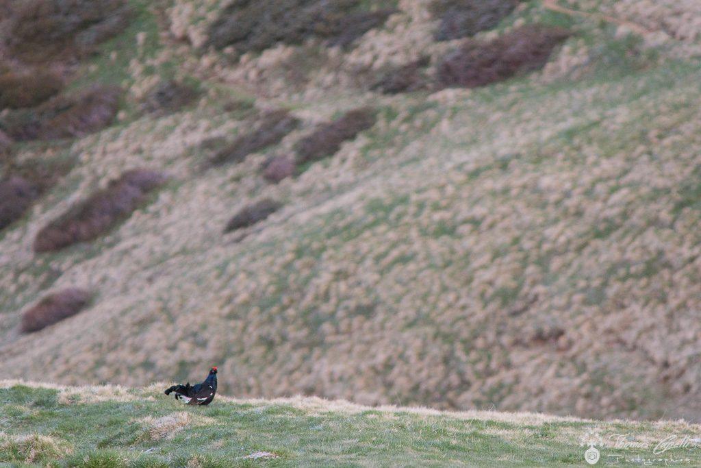 Tetras lyre dans les alpages de chartreuse - Thomas Capelli