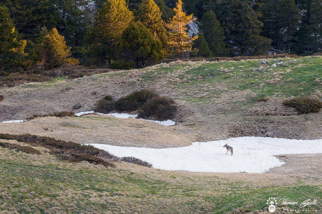 Loup chartreuse - - Thomas Capelli
