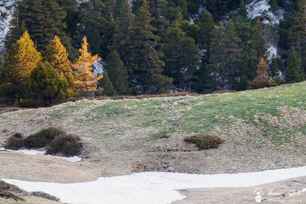 loup dans les montagnes de chartreuse - - Thomas CAPELLI
