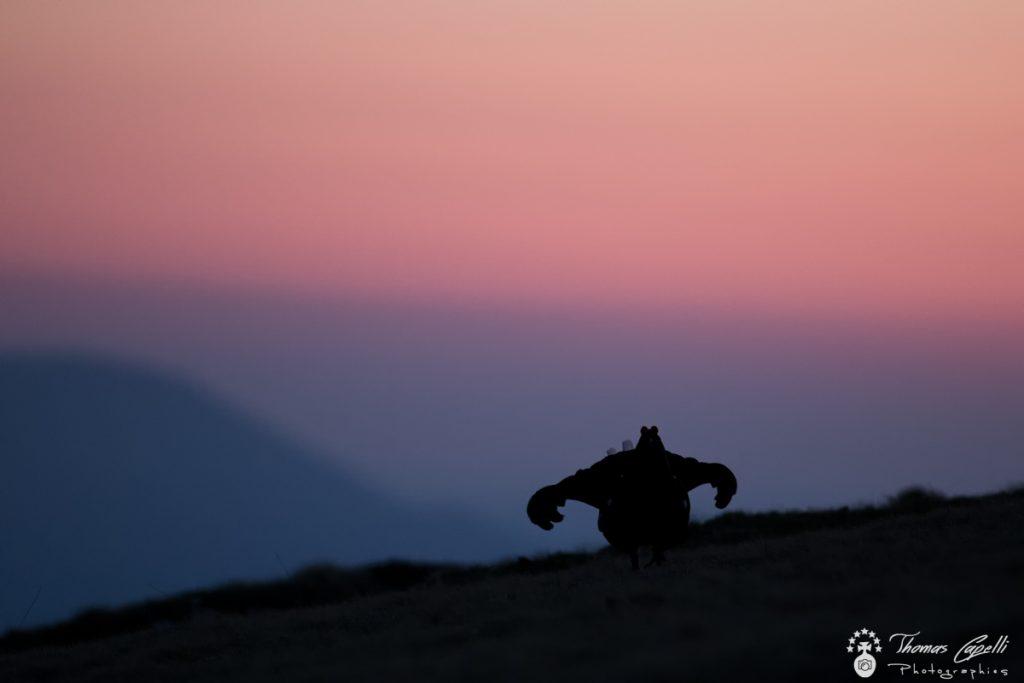 silhouette d'un tetras lyre à l'aube - Thomas CAPELLI
