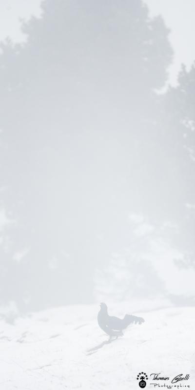 froid et brume du tetras lyre - Thomas Capelli