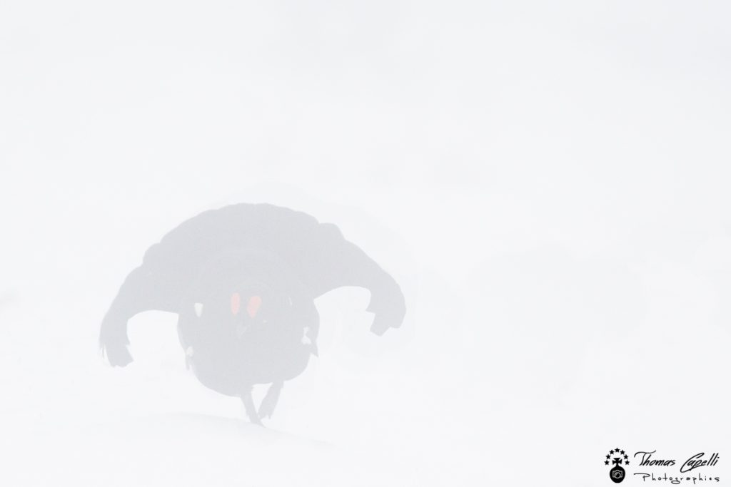 tetras lyre dans la brume - Thomas Capelli
