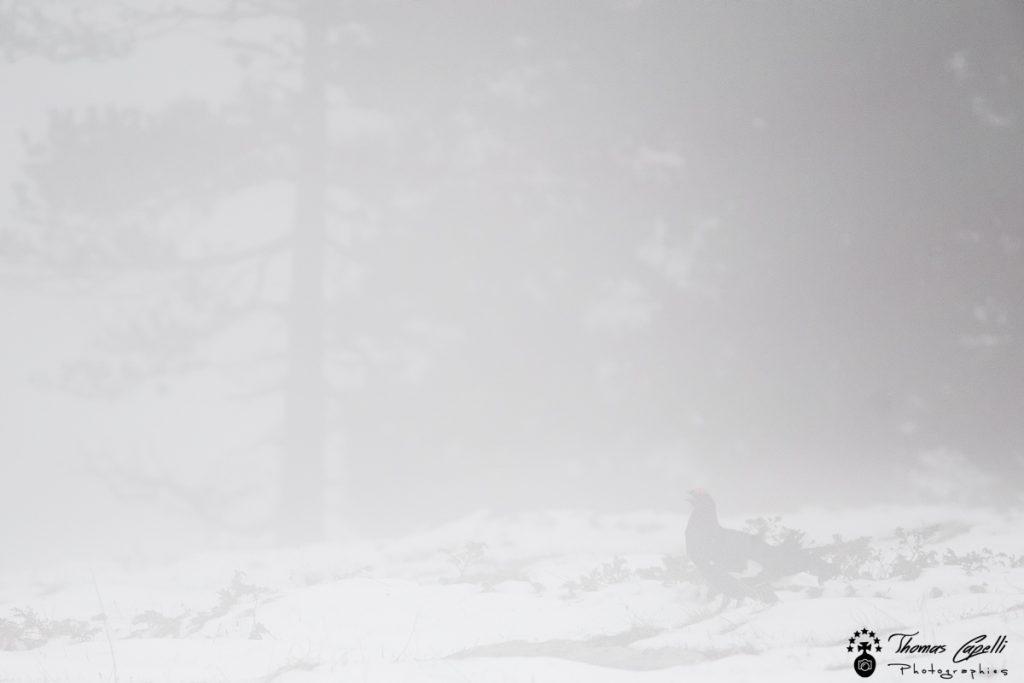 tetras lyre dans la brume