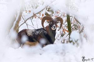 galerie de photos de mouflons en chartreuse - - thomas capelli