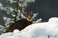 chamois hiver