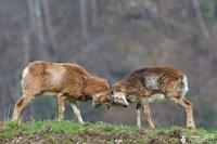 13-combat de mouflons