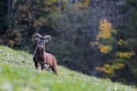 19-Mouflon automne