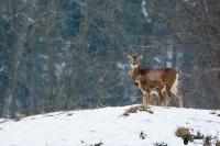 3-Mouflons neige