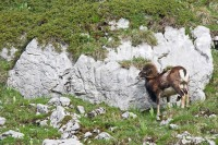 5-mouflon dans une vire