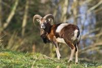 17-jeune mouflon
