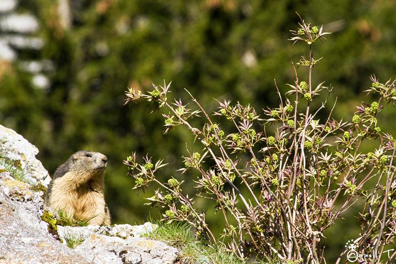 Marmottes dans les pierriers de chartreuse - Thomas CAPELLI