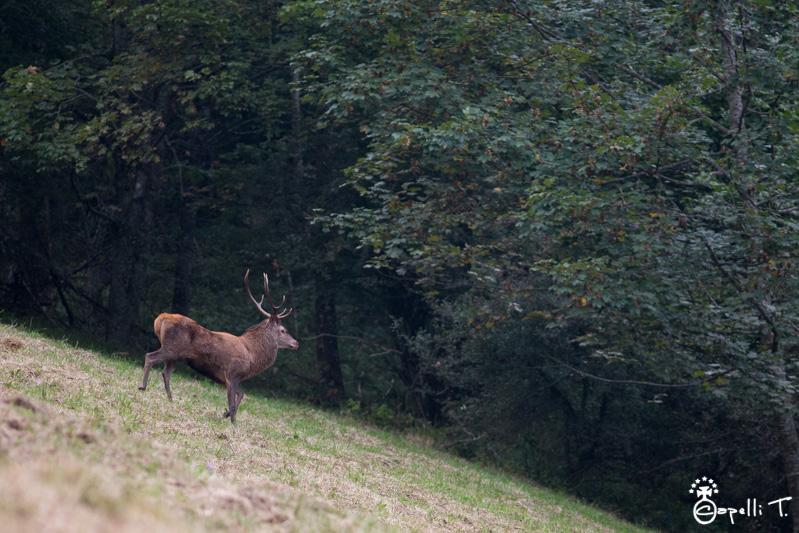 Photo de cerf dans la parc naturel régional de chartreuse - Thomas Capelli