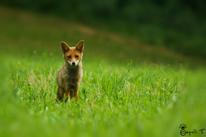 galerie de photos de renards en chartreuse